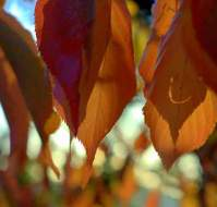 Autumn Leaves - Morgue Files - public domain free photographs.