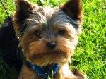 dog terrier yorkshire