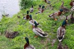 ducks mallard
