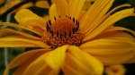 flower yellow1
