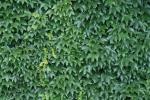 green ivy 2