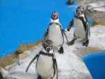 penguins in zoo
