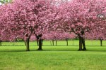 trees in bloom cherry trees pink