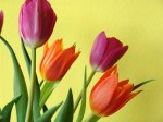 tulips against yellow background