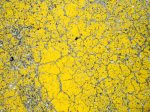 yellow lichen on rock